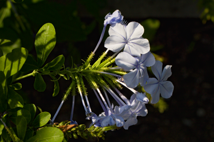 Plumbago auriculata (olověnec ouškatý) - Foto: M. Schafferová