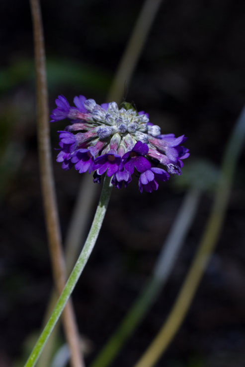 Primula capitata (prvosenka hlavatá) - Foto: M. Schafferová