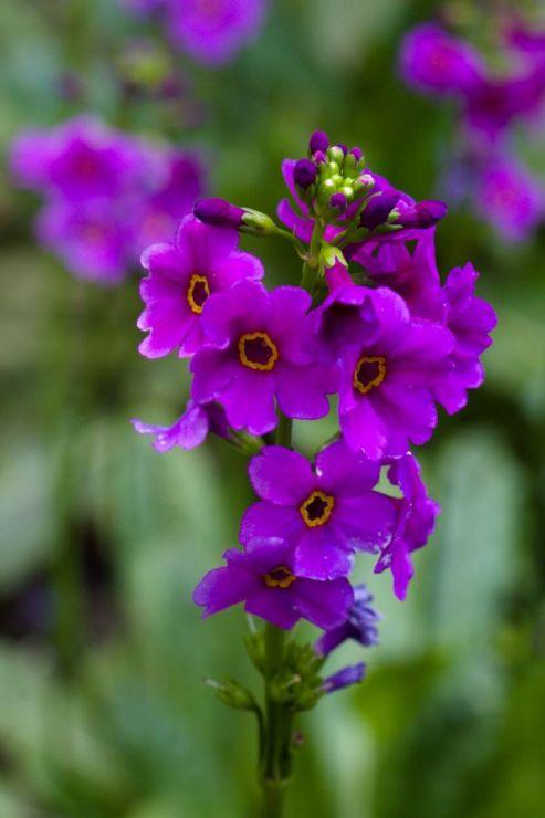 Primula poissonii (prvosenka) - Foto: M. Hrdinová