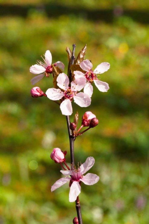 Prunus cerasifera 'Atropurpurea' (myrobalán třešňový) - Foto: M. Hrdinová