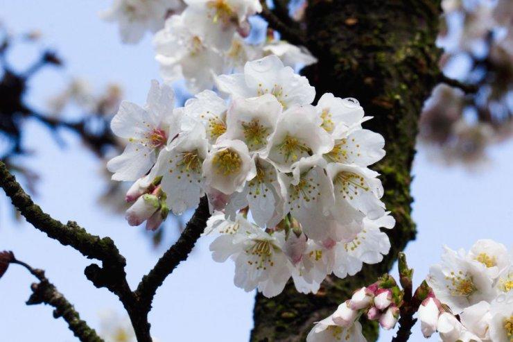 Prunus kurilensis 'Brilliant' (slivoň kurilská) - Foto: M. Hrdinová