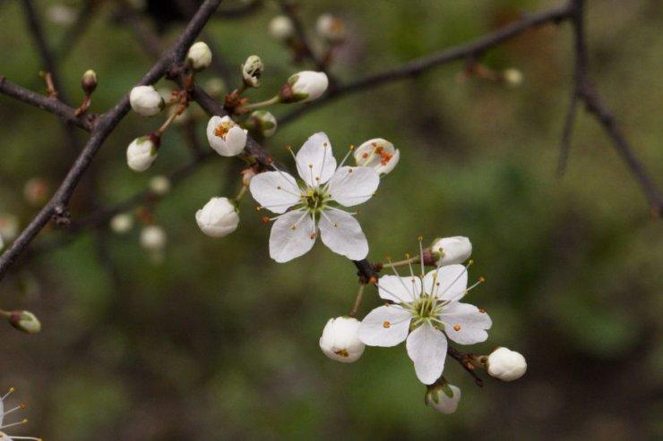 Prunus spinosa (trnka obecná) - Foto: M. Hrdinová