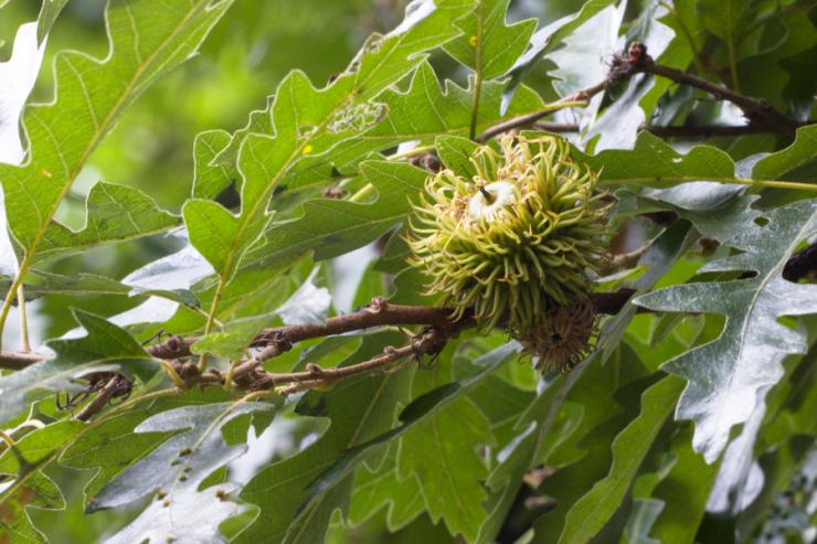 Quercus cerris (dub cer) - Foto: M. Schafferová