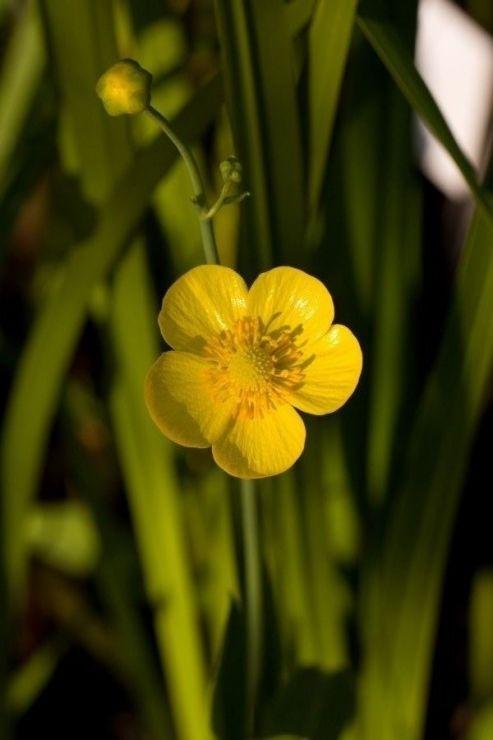 Ranunculus lingua (pryskyřník velký) - Foto: M. Hrdinová