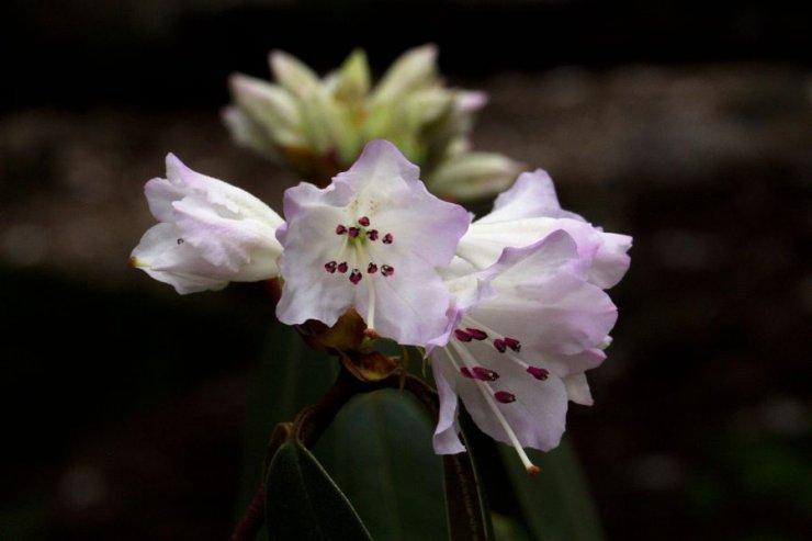 Rhododendron rubiginosum - Foto: M. Hrdinová