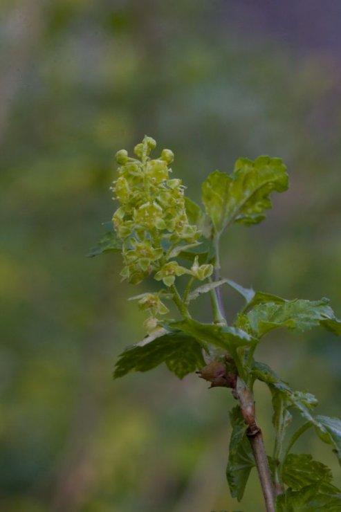Ribes alpinum (rybíz alpínský) - Foto: M. Hrdinová