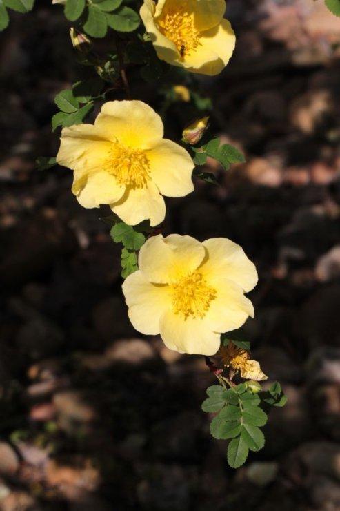 Rosa xanthina (růže žlutá) - Foto: M. Hrdinová