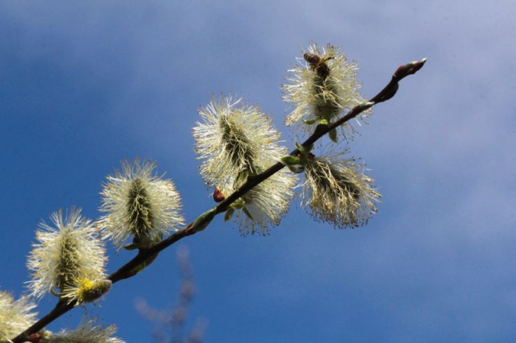 Salix caprea (vrba jíva) - Foto: M. Hrdinová