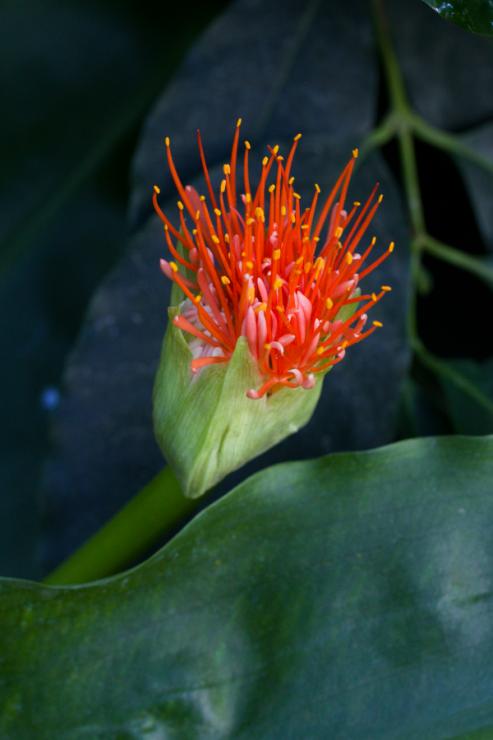 Scadoxus multiflorus subsp. katharinae (krvokvět mnohokvětý Kateřinin) - Foto: M. Schafferová