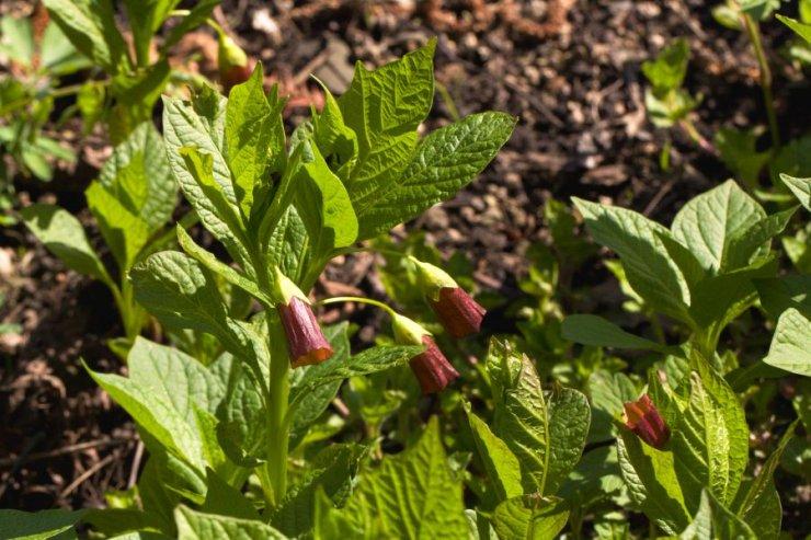 Scopolia carniolica (pablen kraňský) - Foto: M. Hrdinová