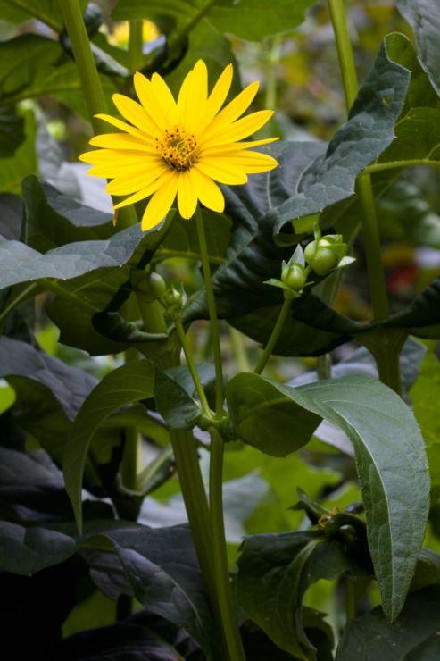 Silphium perfoliatum (mužák prorostlý) - Foto: M. Hrdinová