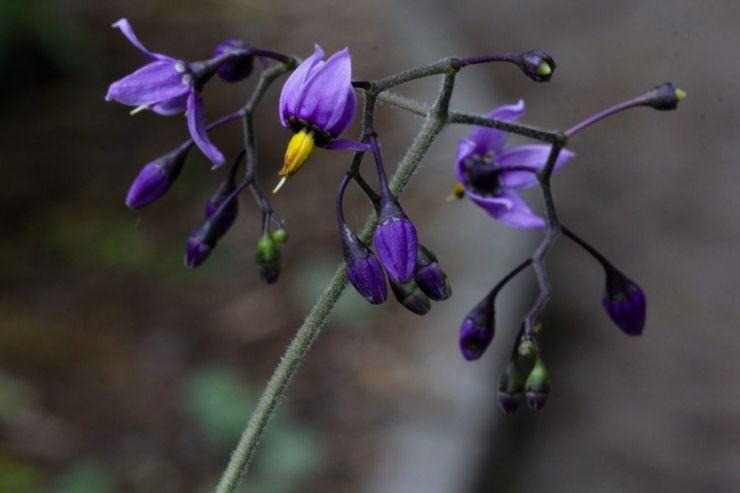 Solanum dulcamara (lilek potměchuť) - Foto: M. Hrdinová