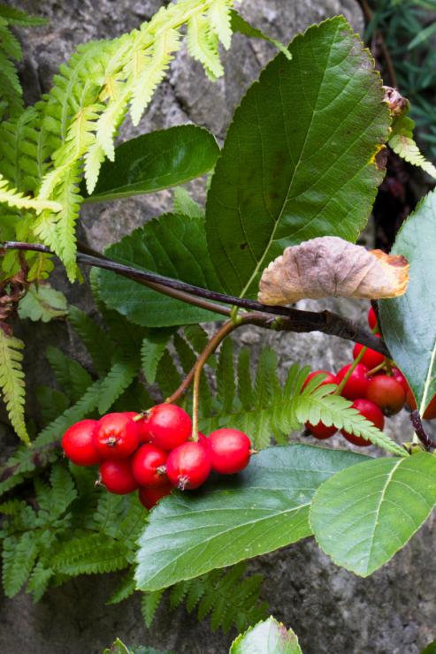 Sorbus sudetica (jeřáb sudetský) - Foto: M. Schafferová