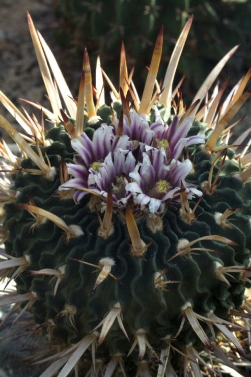 Stenocactus phyllacanthus - Foto: M. Hrdinová