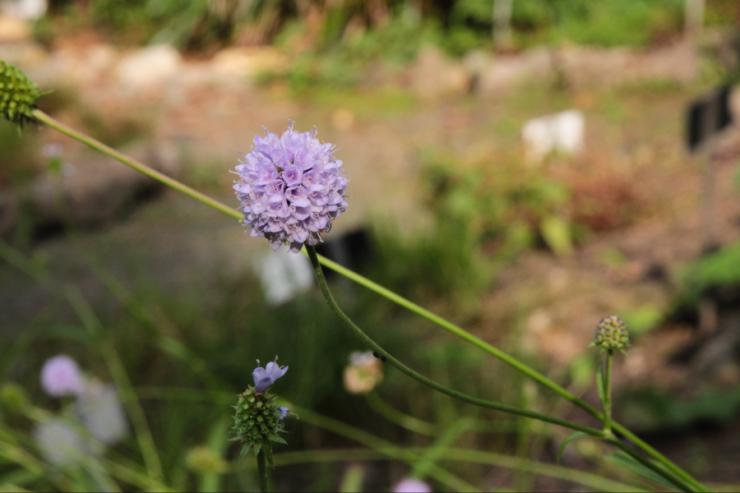 Succisella inflexa (čertkusek přehnutý) - Foto: M. Schafferová