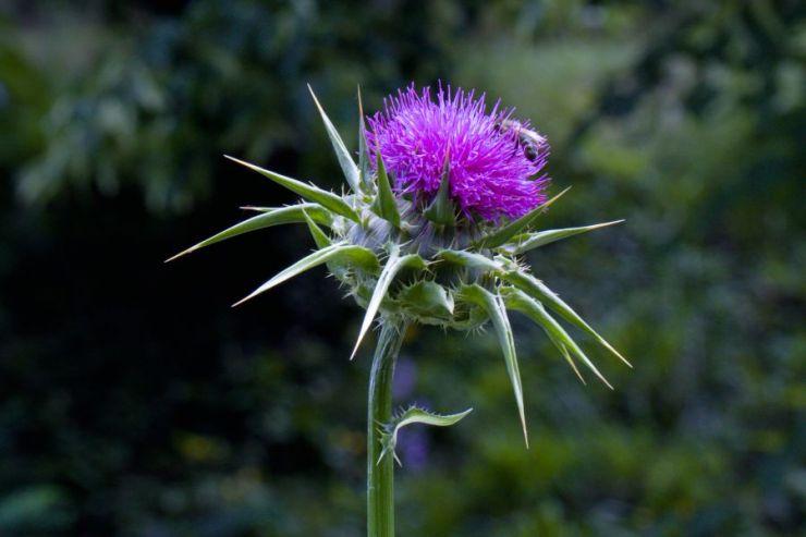 Sylibum marianum (ostropestřec mariánský) - Foto: M. Hrdinová