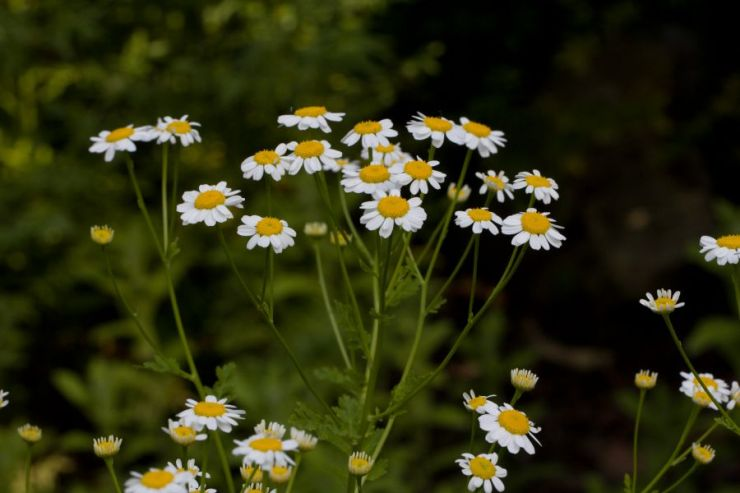 Tanacetum parthenium (řimbaba obecná) - Foto: M. Hrdinová