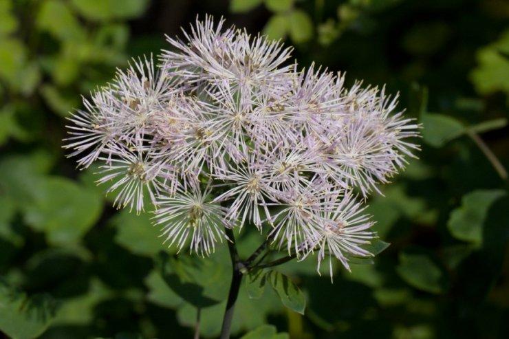 Thalictrum aquilegiifolium (žluťucha orlíčkolistá) Foto: M. Hrdinová