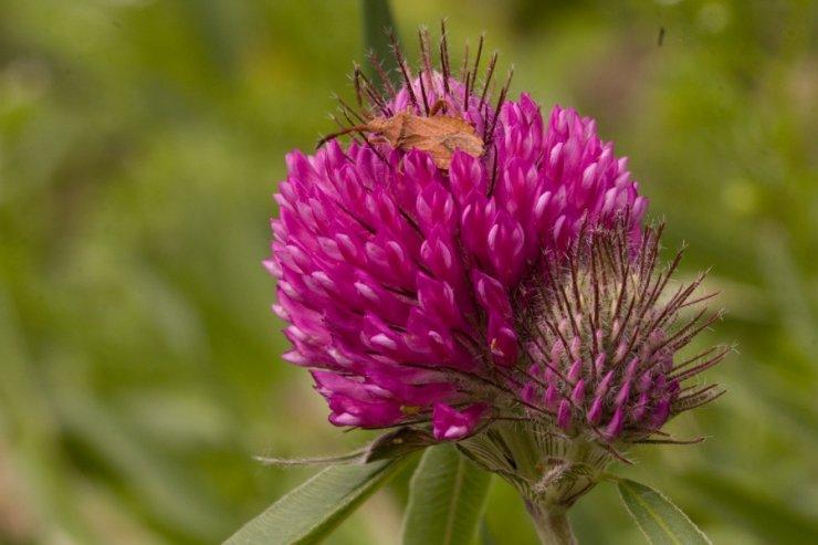 Trifolium alpestre (jetel alpský) Foto: M. Hrdinová