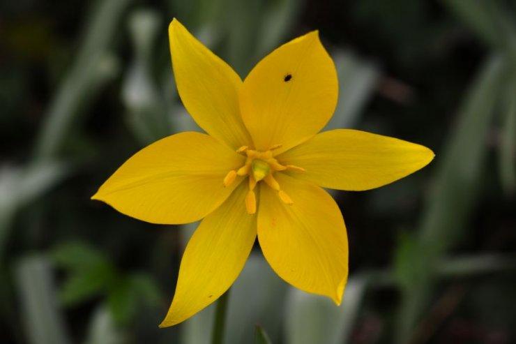 Tulipa sylvestris (tulipán planý) - Foto: L. Hrouda
