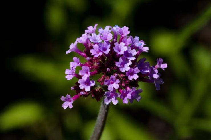 Verbena bonariensis (sporýš argentinský) - Foto: M. Hrdinová