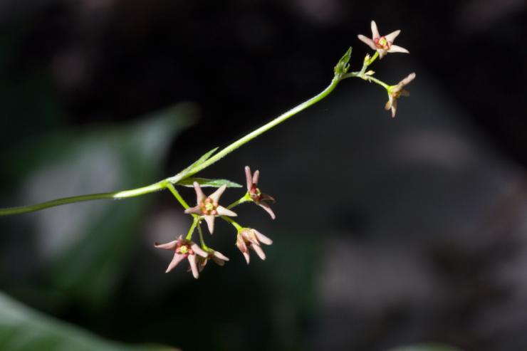 Vincetoxicum rossicum (tolita rudá) - Foto: M. Schafferová