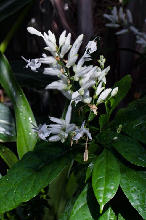 Whitfieldia elongata (whitfieldie dlouholistá) - Foto: M. Schafferová