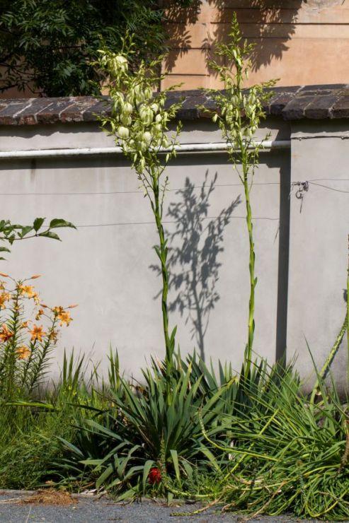 Yucca filamentosa (juka vláknitá) - Foto: M. Hrdinová