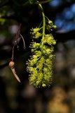 Acer pseudoplatanus (javor klen) - Foto: M. Hrdinová
