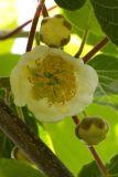 Actinidia chinensis (aktinidie čínská) - Foto: M. Hrdinová