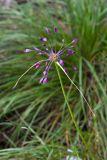 Allium carinatum (česnek kýlnatý) - Foto: M. Hrdinová