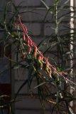Aloe carinata var. verrucosa - Foto: M. Hrdinová