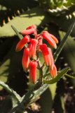 Aloe millotii - Foto: M. Hrdinová