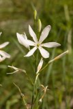 Anthericum liliago (bělozářka liliovitá) Foto: M. Hrdinová