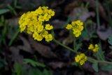 Aurinia saxitilis subsp. arduini (tařice skalní Arduinova) - Foto: M. Hrdinová