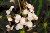 Begonia bowerae 'Nigra' - Foto: M. Hrdinová