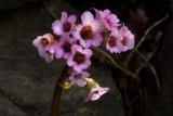 Bergenia crassifolia (bergenie tučnolistá) - Foto: M. Hrdinová