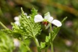 Blumenbachia insignis - Foto: M. Schafferová