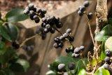 Buxus balearica (zimostráz baleárský) - Foto: M. Hrdinová