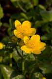 Caltha palustris (blatouch bahenní) - Foto: M. Hrdinová