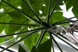 Carica papaya (papája obecná) - Foto: M. Schafferová