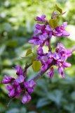 Cercis chinensis 'Avondale' (zmarilka čínská) - Foto: M. Hrdinová