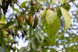 Chimonanthus praecox (zimnokvět časný) - Foto: M. Hrdinová