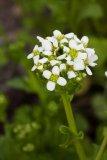 Cochlearia officinalis (lžičník lékařský) - Foto: M. Hrdinová