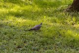 Columba palumbus (holub hřivnáč) - Foto: M. Hrdinová