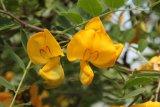 Colutea arborescens (žanovec měchýřník) Foto: M. Hrdinová