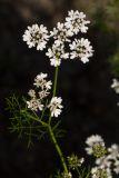 Coriandrum sativum (koriandr setý) - Foto: M. Hrdinová
