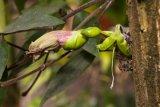 Crescentia cujete (kujeta hruboplodá) - Foto: M. Hrdinová