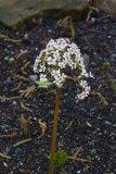 Darmera peltata (darmera štítnatá) - Foto: M. Hrdinová
