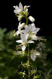 Dictamnus albus 'Alba' (třemdava bílá) - Foto: M. Hrdinová
